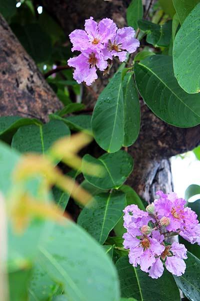 タイの花07
