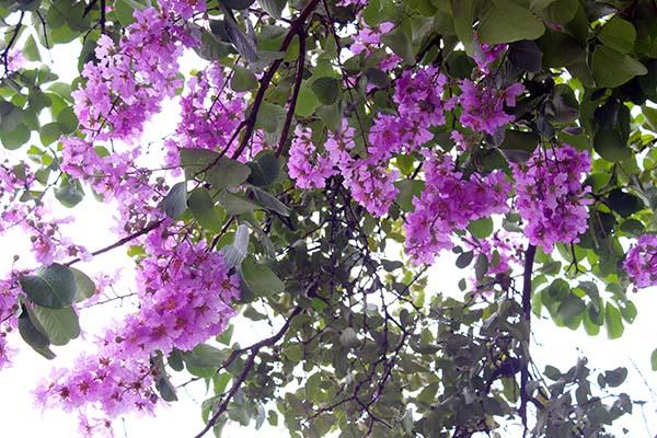 タイの花08
