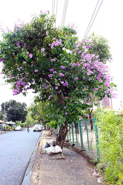 タイの花09