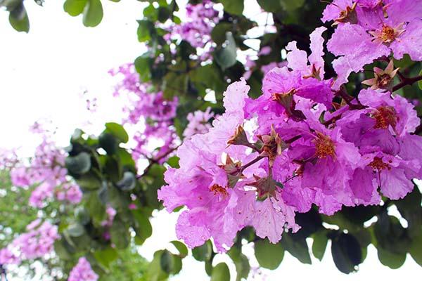 タイの花10