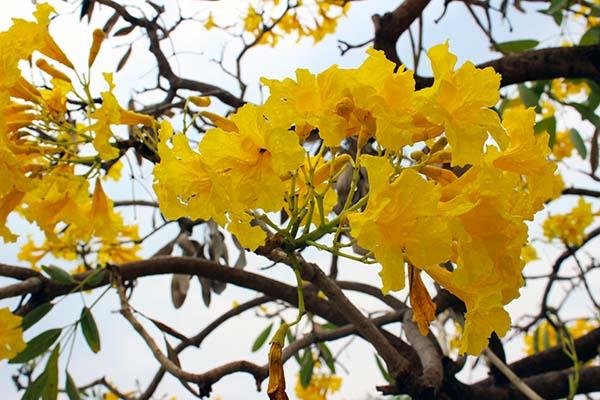 タイの花13