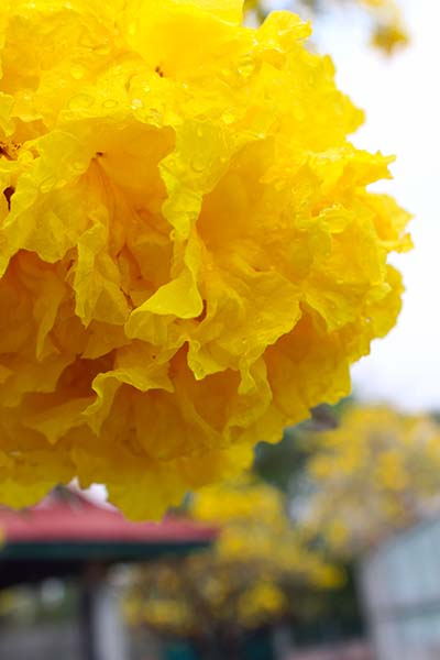 タイの花14