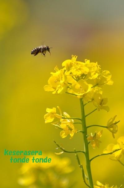 25菜の花DSC_0638