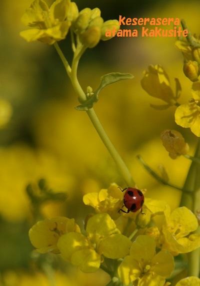 25菜の花DSC_0576