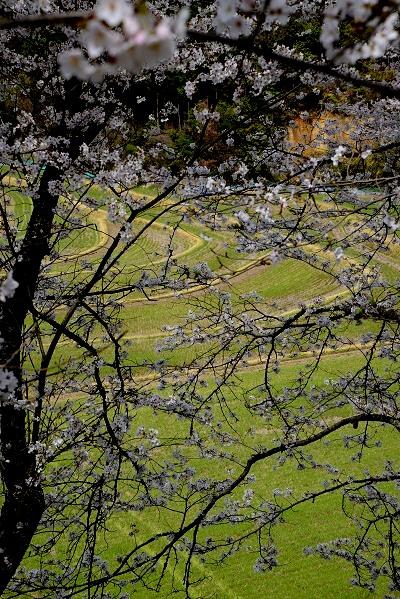 3桜DSC_4033