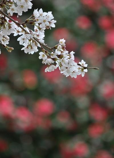 13桜DSC_0441
