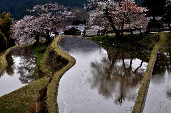 13桜DSC_0269
