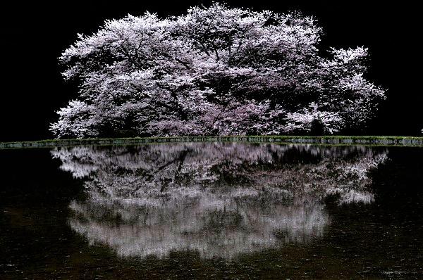 13桜DSC_0460