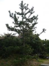 バス停にちなんで松の木が