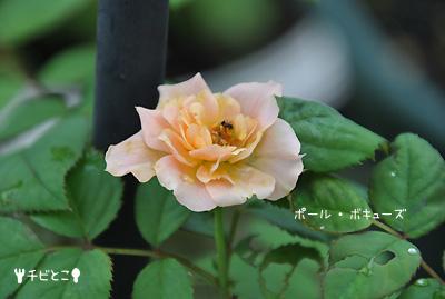 チビとこお庭のバラ。。