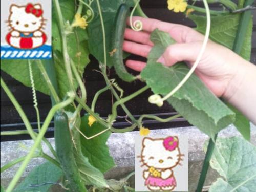 裏庭の家庭栽培して出来た秋キュウリデジカメ写真をキティちゃんたちと一緒に合成写真としました