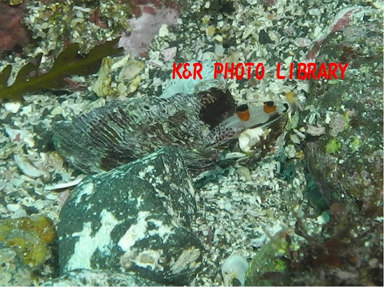 11月30日カンムリベラの幼魚