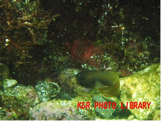 11月30日エゾイソアイナメの幼魚2