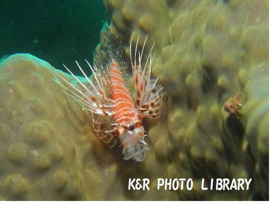 12月1日ネッタイミノカサゴの幼魚