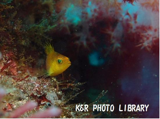 12月29日オキゴンベの幼魚