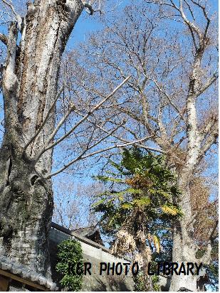 1月13日大きな木