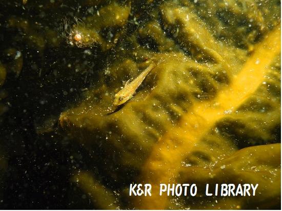 3月29日アサヒアナハゼの幼魚