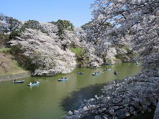 桜千鳥が淵