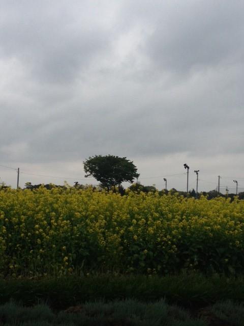 菜の花1_