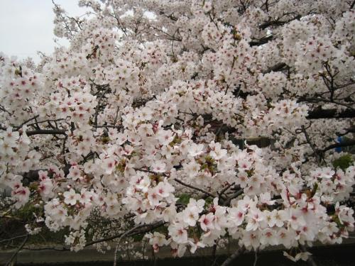 この桜が咲いているのは