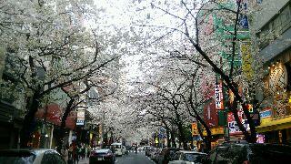東京駅八重洲北口の桜