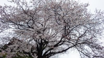 20140330_桜守_WG3GPS (9 - 14)