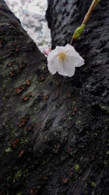 20140330_桜守_WG3GPS (4 - 14)