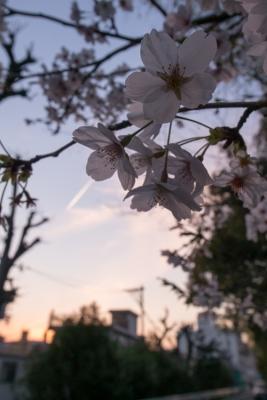 20140401_桜守_GRD4-11