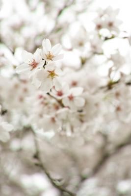 20140412-桜01