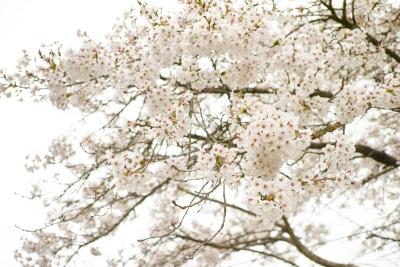 20140412-桜03