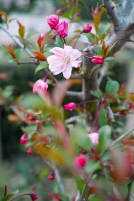 20140412-桜05