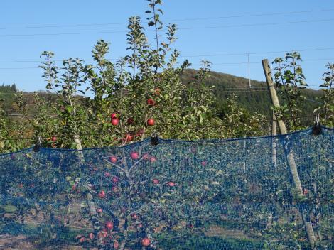 厳美渓 リンゴ畑