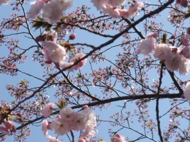 縮 八重桜