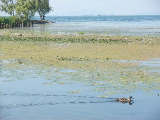 琵琶湖を泳ぐ