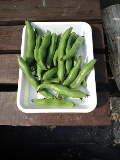 20140427‗ そら豆・収穫