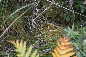 湿原のコケ