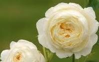 EGT rose2 1