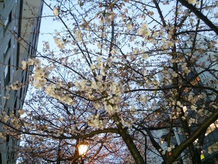 20140327_sakura.jpg
