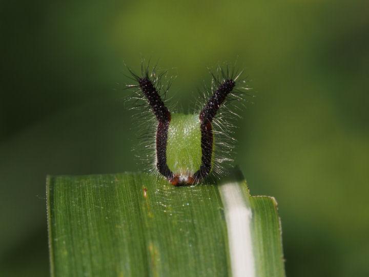 クロコノマチョウ幼虫45mm頭部-OMD01736