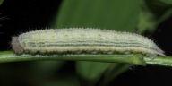 ヒメウラナミジャノメ幼虫15mm-OMD03849