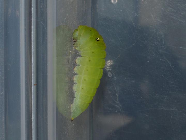 アオスジアゲハ前蛹-OMD02312