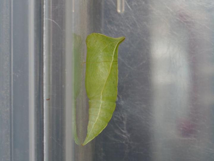 アオスジアゲハ蛹-OMD02435