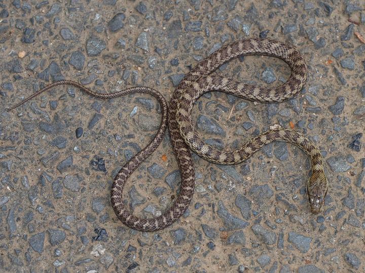 蛇>未同定-OMD02692