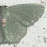 96-ホソバハラアカアオシャク>2014-08-20-栄区-OMD03676