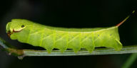 192-ブドウスズメ幼虫42mm-OMD03279