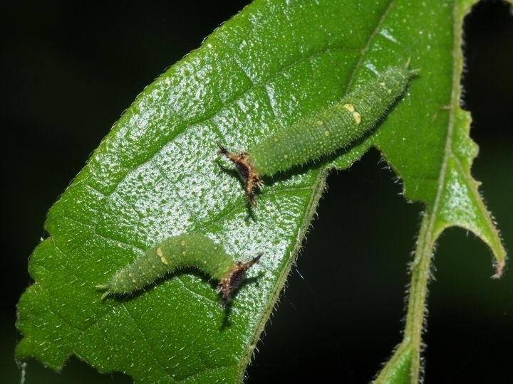 アカボシゴマダラ幼虫10mm-OMD03346