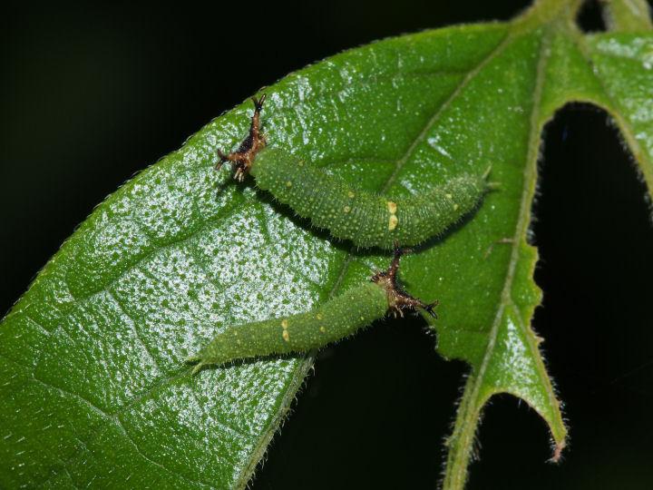 アカボシゴマダラ幼虫10mm-OMD03347