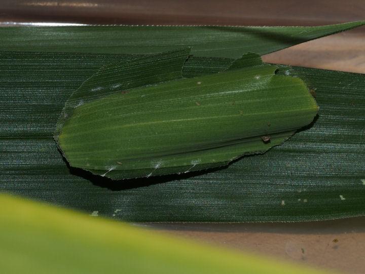 コチャバネセセリ幼虫巣-蛹化準備-OMD03310