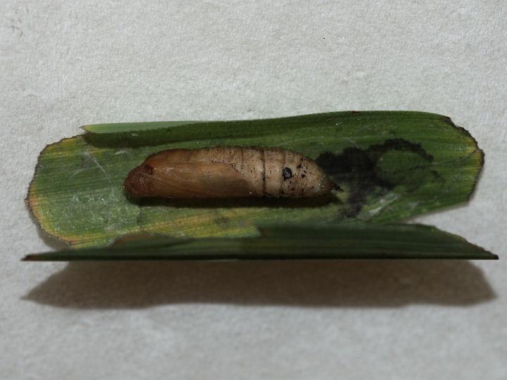 コチャバネセセリ蛹15mm-OMD03642