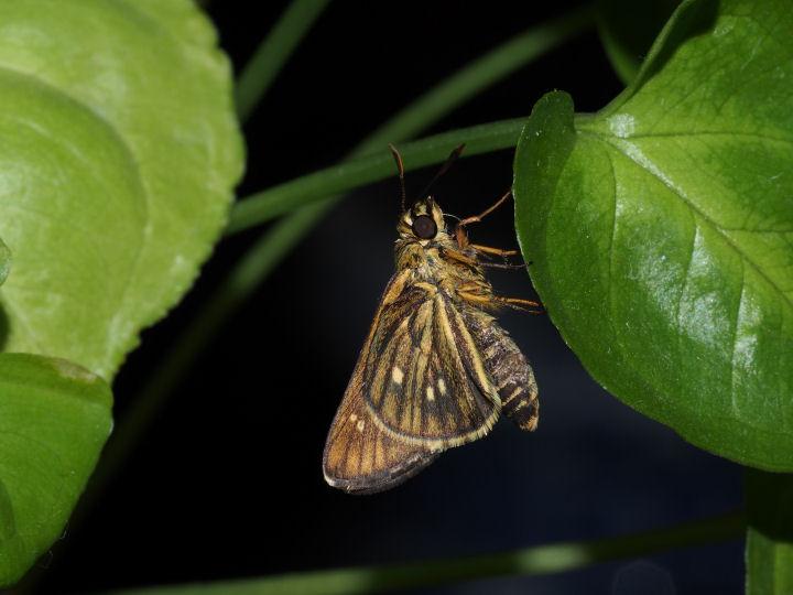 コチャバネセセリ羽化-OMD04375